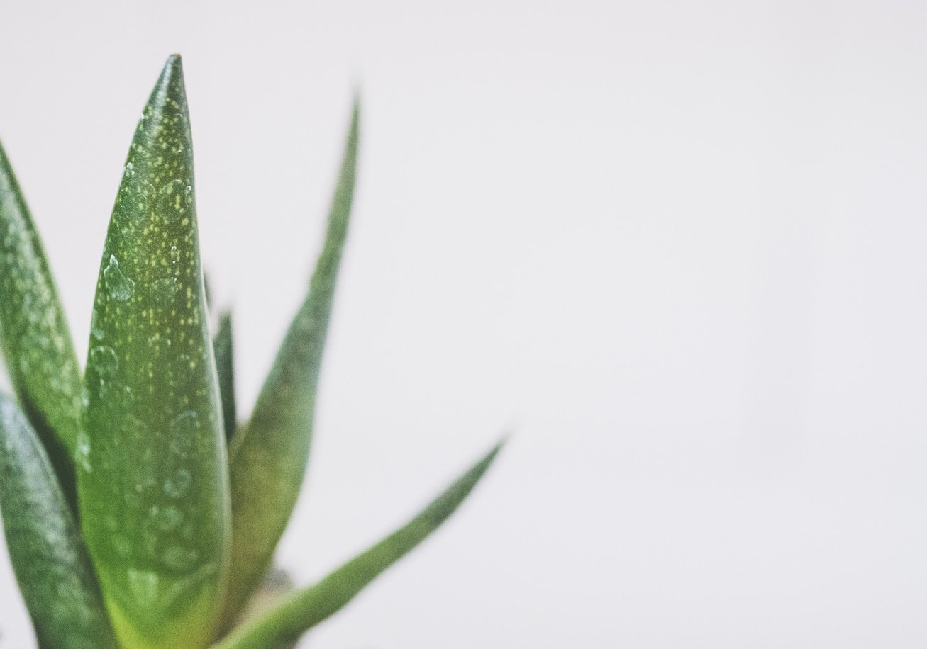 aloe vera plant leaves upon a grey background