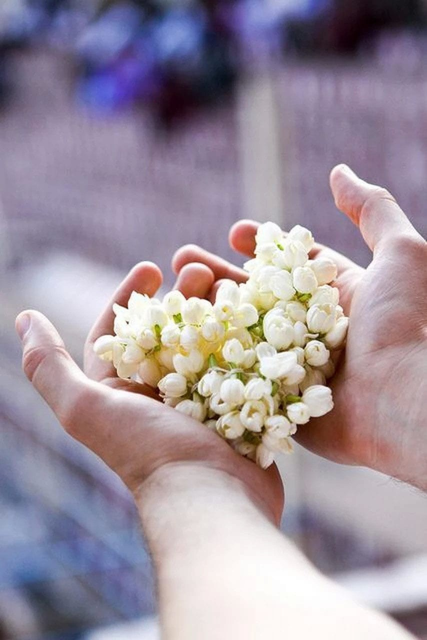 a pair of hands, reached out, whilst holding jasmine flowers.
