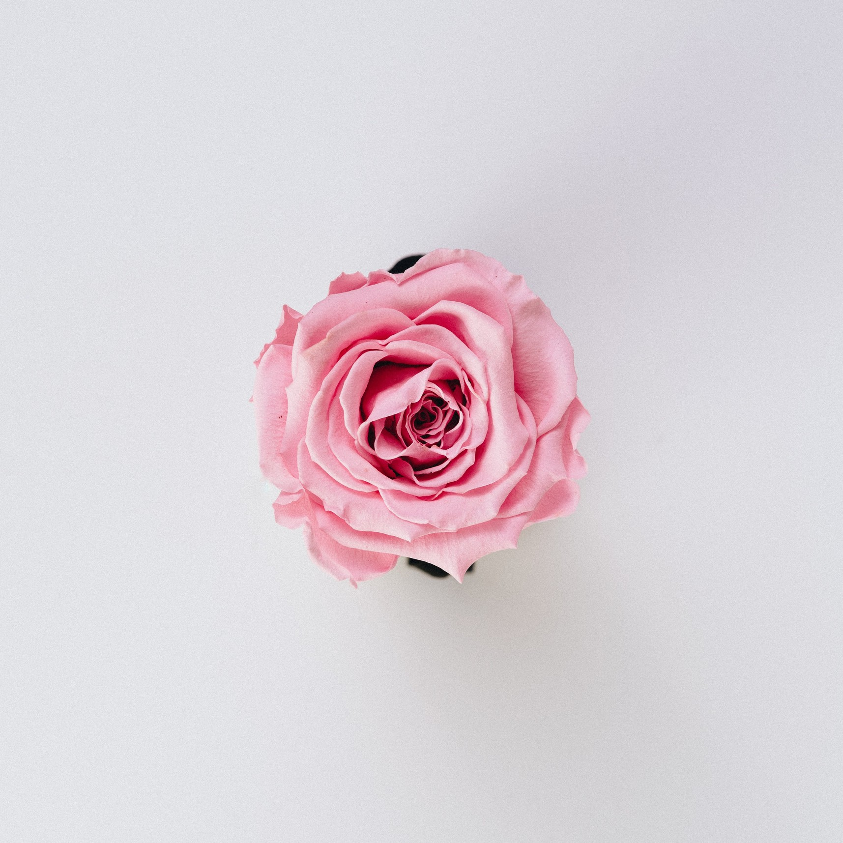 a photo of a rose flower from above, showing petals with a blank background.