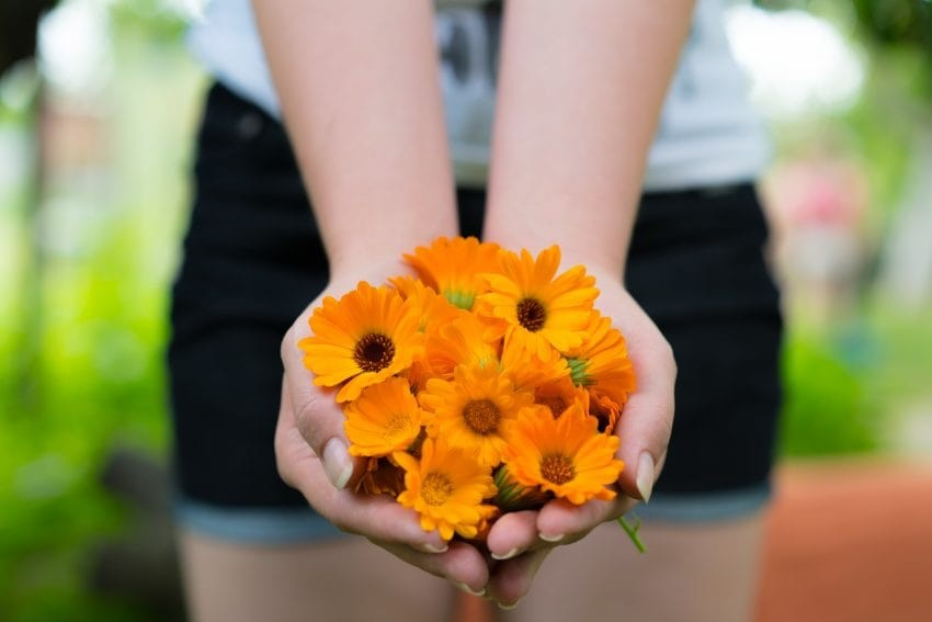a woman in shorts holding a handful of marigold flowers.