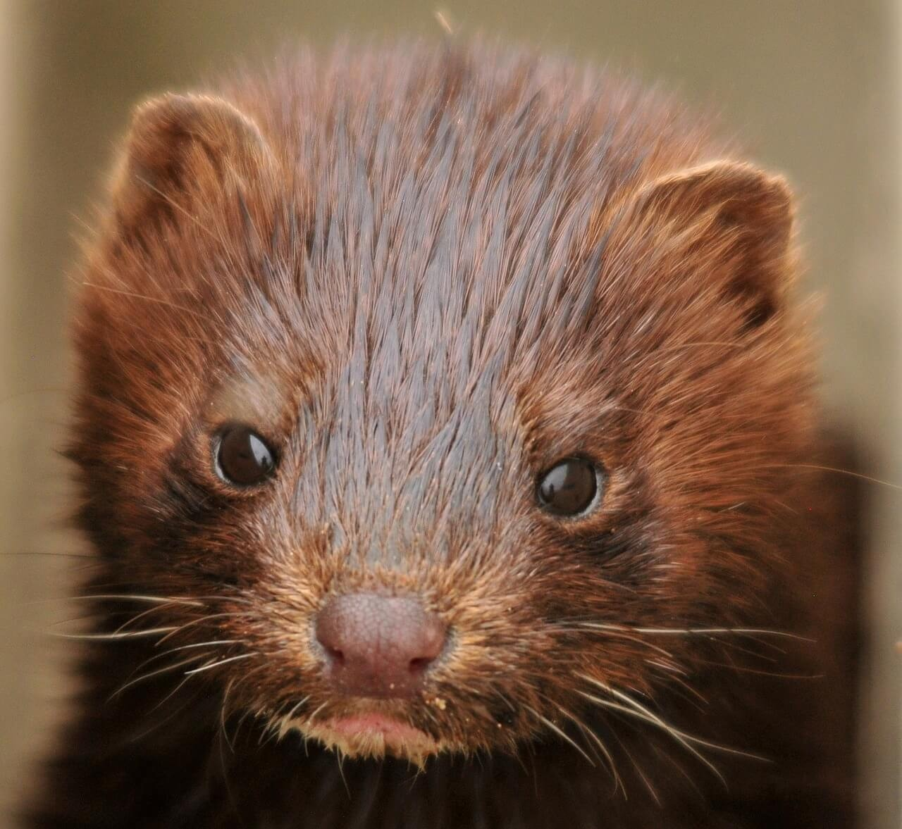 a close up picture of a brown coloured mink.